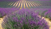 France lavender-894919_1920